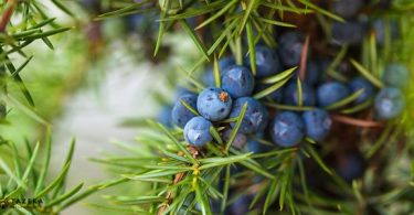 The juniper berries