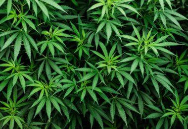 weed vapes